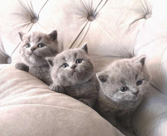 NIEPOWTARZALNE kotki kotek kotka brytyjskie z rodowodem CUDO