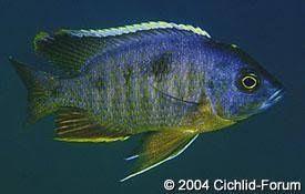 Copadichrimis mbenji blue