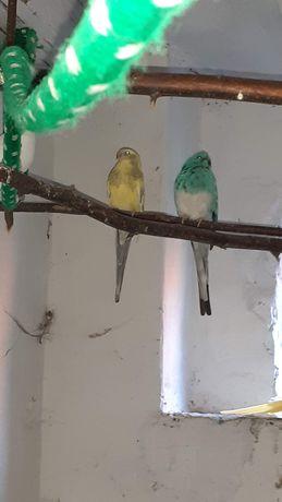 Papugi falista para