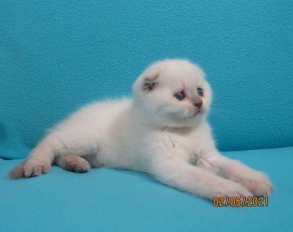 Вислоухий котёнок в белоснежной шубке