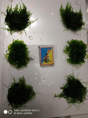 Акваріумні мохи і рослини