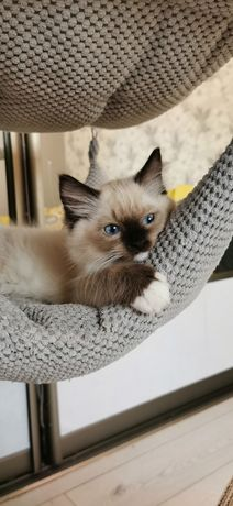 Kocięta Ragdoll kocurek kotka