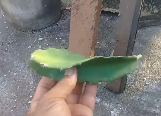 Podas de planta pitaya