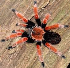 брахипельма боеми самка новичку паук птицеед павук brachypelma