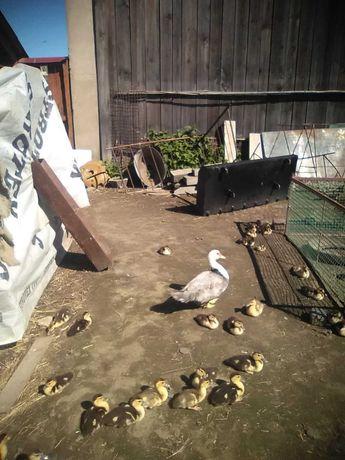 Sprzedam kaczki swojskie