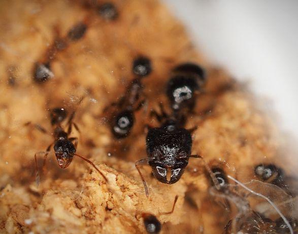Mrówki Pheidole indica