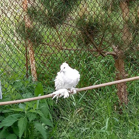 Loczki, loczek samica z koronką. Gołębie.