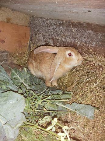 Samica burgun królik