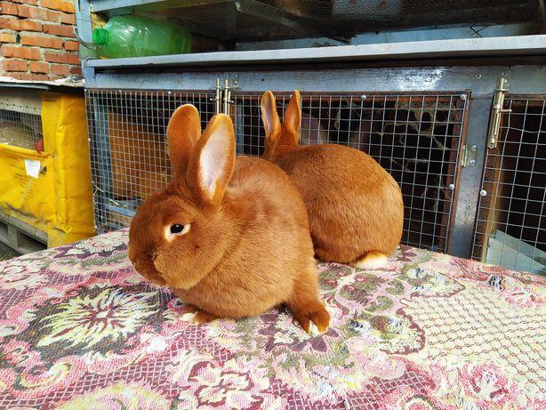 Кролики Новозеландцы, НЗК, Новозеландский красный