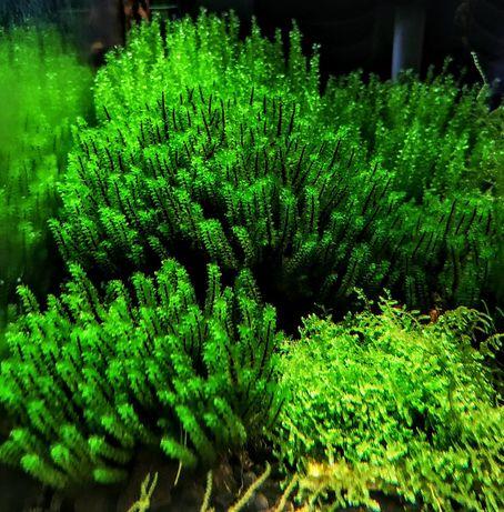 Hookeriaceae sp- rarytas ZaMIANA GRATIS PROMOCJA