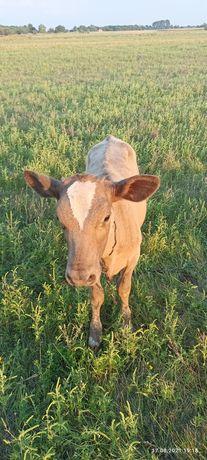 Продам телочку корову.
