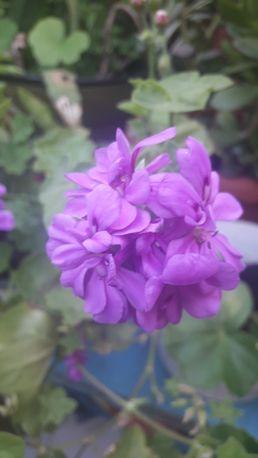 Продам вазон герань плющелистная ампельная разных цветов .