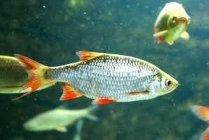 Ryby karaś wzdręga do stawu jako przynęta