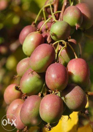 Baby kiwi, Careca, SEM PELO novas variedades - Para Produtores