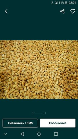 Продам пшеницу урожай 21