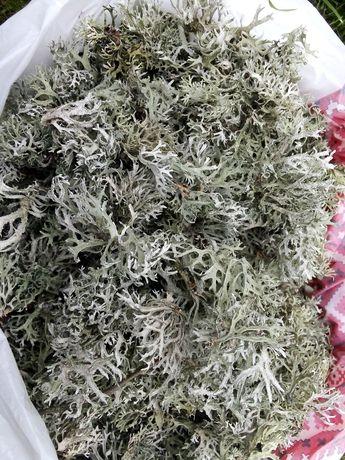 Дубовий мох сушений