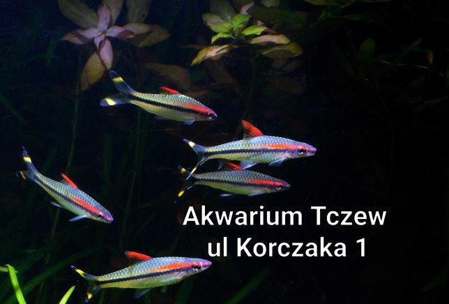 Brzanka denisona 10 sztuk ul Korczaka 1 Tczew