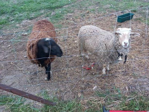 Casal de ovelhas