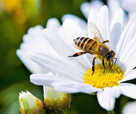 Zapylanie przez pszczoły, miejsce na pasiekę