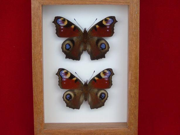 Motyle w ramce 10x14 cm . Inachis io . Para .