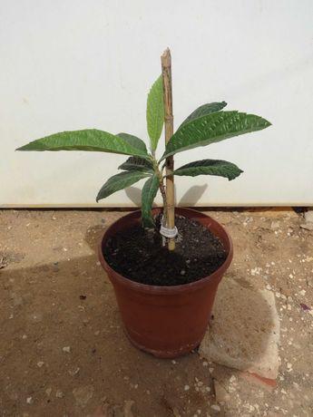 Árvore de Fruto – Nespereira 20cm