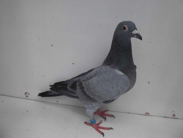 Gołębie pocztowe Gołąb Młodego 2021 r. Janssen  /De Klak rodowodem