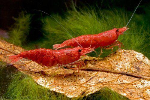Krewedki czerwone red chery po sakurach