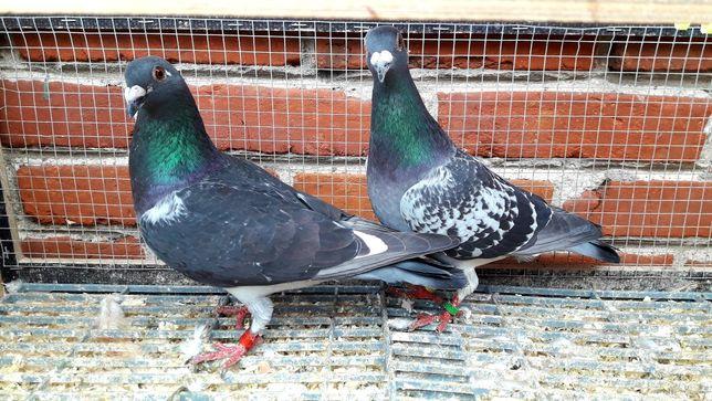 Gołębie pocztowe. Para nr2 lot