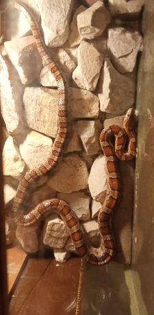 Wąż zbożowy z terrarium