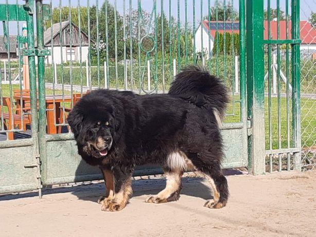 Mastif Tybetański Suczki 3 letnie Fci