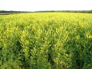 Насіння Буркуна жовтого ( донник жёлтый)-двухлетний