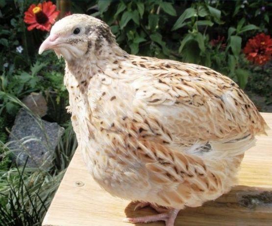 Мясо и яйца перепелов по самым приятным ценам, звоните, мы вам рады:)