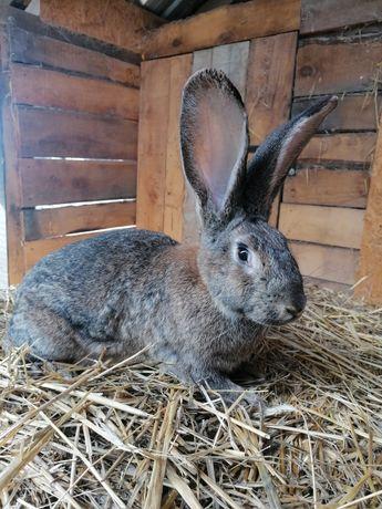 Młoda samica królika