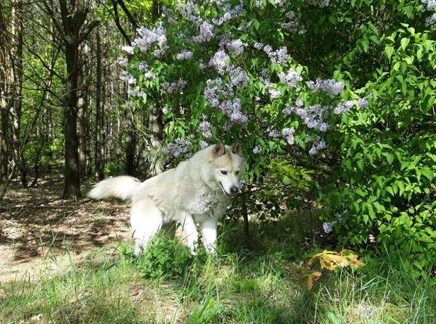 Gadatliwy husky Jantar do adopcji