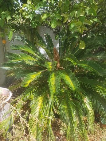 """Vendo """"palmeira"""" sica"""