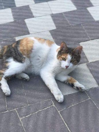 Короткохвоста кішка загубилась в Рудно