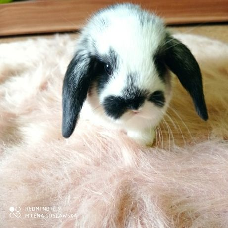 Mini lop, królik miniaturka, baranek