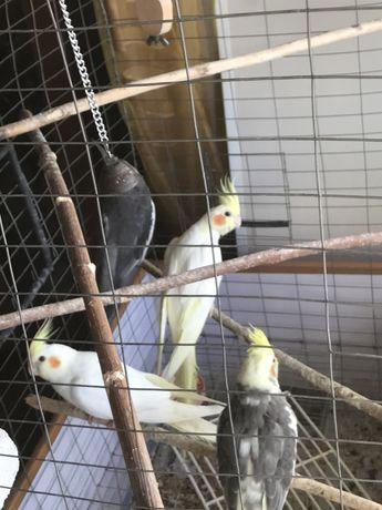 Птенцы попугай Корелла корела Нимфа