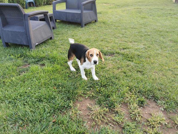 Pies beagle 5 miesięcy sprzedam