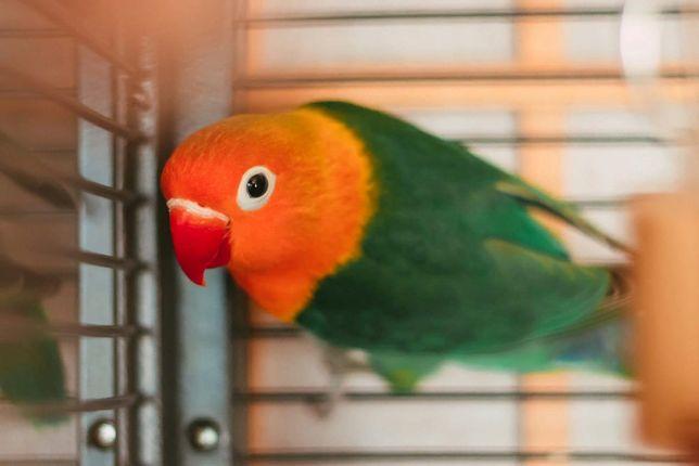 Сформированная Пара попугаев неразлучники