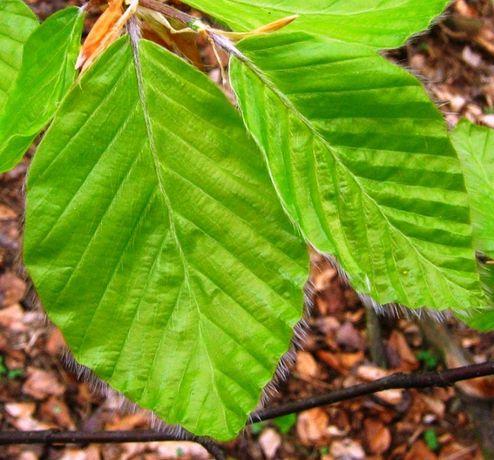 Zestaw 50 gatunków liście drzew i krzewów. Zielnik.