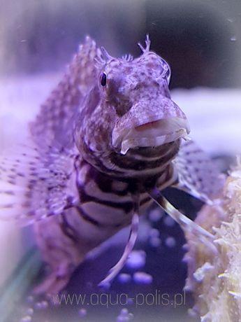 Salarias fasciatus akwarium morskie ryba na glony