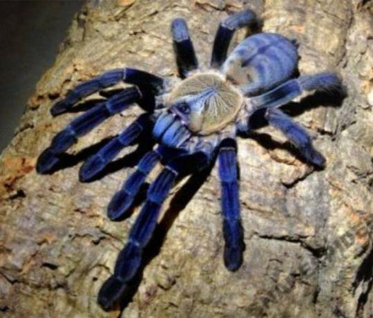 Cyriopagopus hati hati L3 - pająk ptaszni. Dużo innych