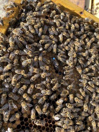 Меченая Плодная Пчеломатка порода Карпатка Внимание – Скидки!!!