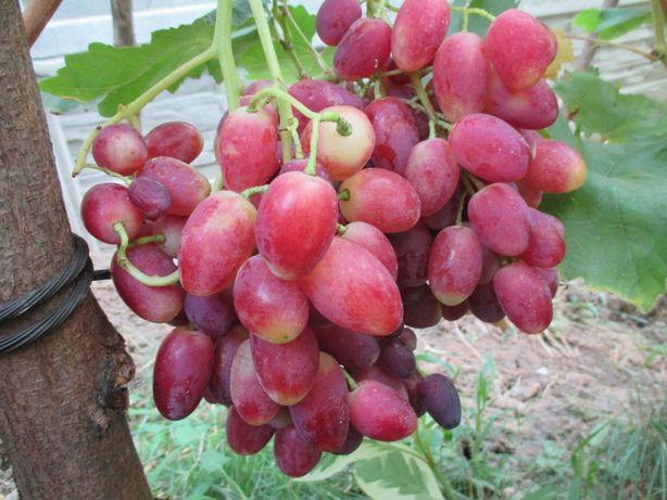 Черенки и саженцы винограда Столовых сортов