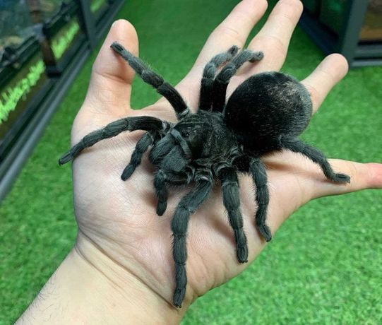 Grammostola pulchra угольный паук птицеед (граммостола пульхра )