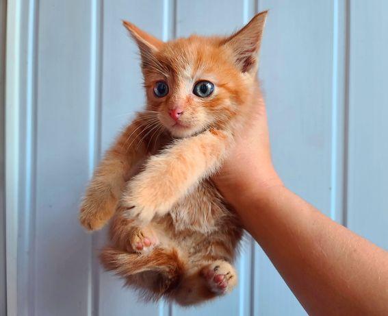 Рыжий очаровашка Батошик! 1.5 месяца (кот, кошка)