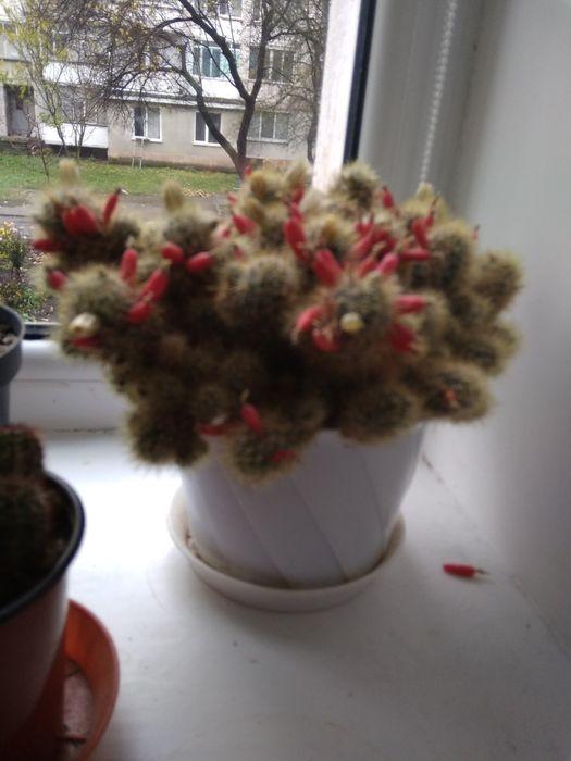 Продам кактус Каменец-Подольский - изображение 1