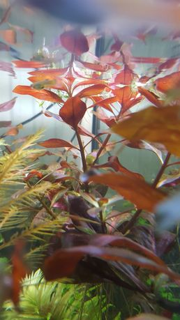 Ludwiga repens roslinka czerwona