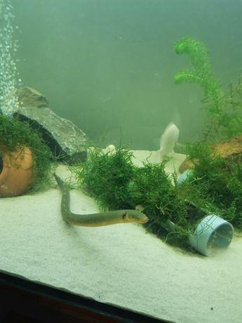 Trzciniak Ryba Akwariowa